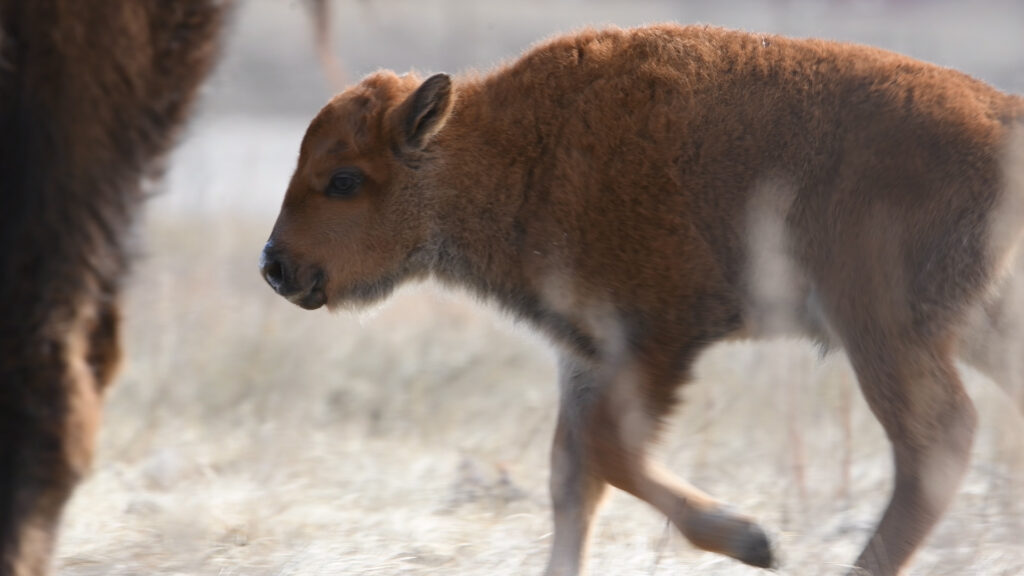 Wanuskewin's First Baby Bison